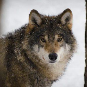 Kolejny kretyn w akcji. Zastrzelił wilka w Puszczy Białowieskiej!