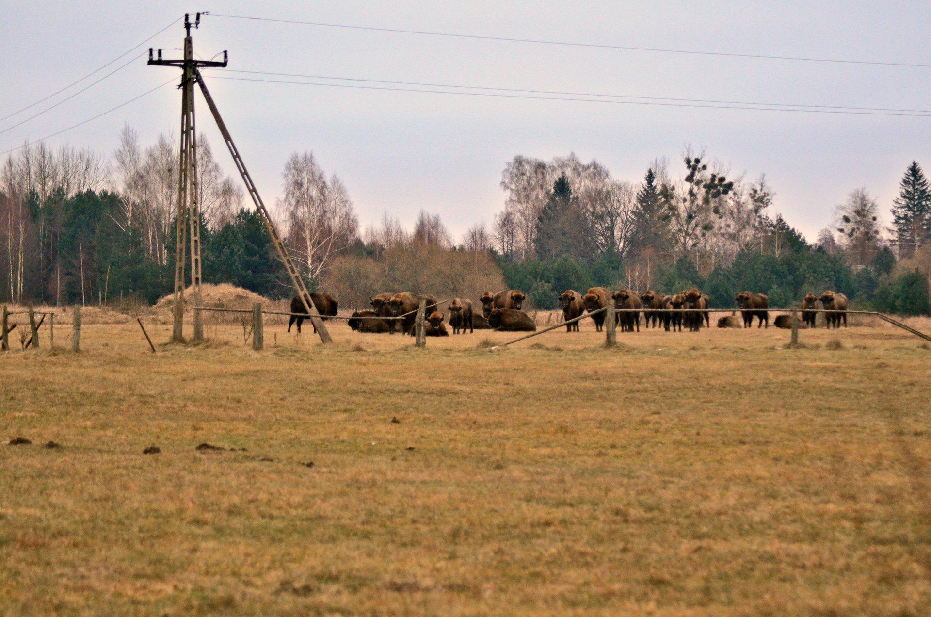 żubr żubry Puszcza Białowieska Siemianówka zimafree photo darmowe zdjęcie