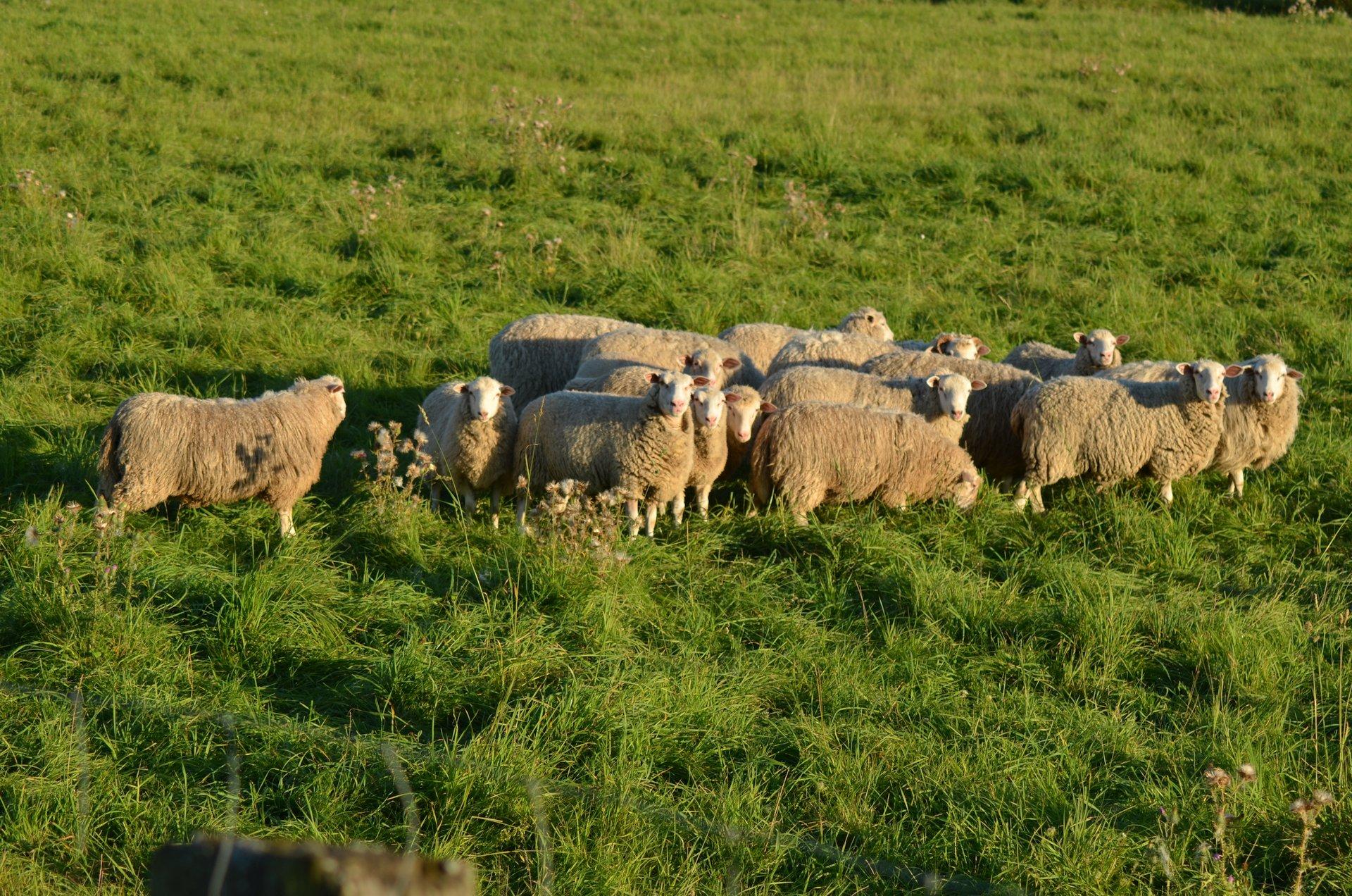owca owce zwierzętafree photo darmowe zdjęcie