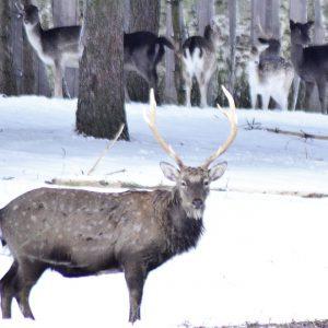 """""""Podlaskie Safari"""" zimą. Wilka, jelenia, dzika, żubra i łosia można zobaczyć z okna samochodu."""