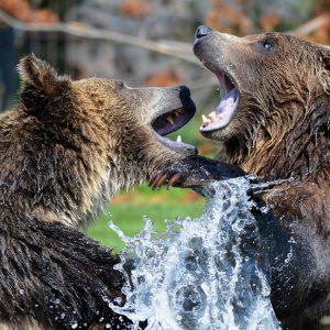 Niedźwiedzie coraz częściej odwiedzają Podlaskie. Czy wkrótce tu zostaną?
