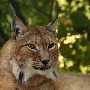 Życie rysia wygląda tak jakby było wbrew naturze. Te wielkie koty są w podlaskich lasach i właśnie szukają pary.