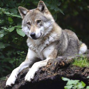 """Wasza presja miała sens. Nadleśnictwo ucina dyskusję, a Lasy Państwowe przyznają """"Wilk na pewno nie jest szkodnikiem""""."""