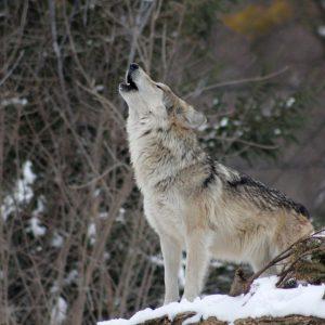 Jesteśmy już bardzo blisko do odstrzału wilka. Myśliwi zacierają ręce!
