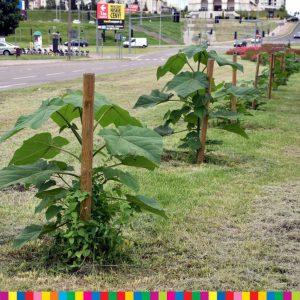 Czy na Podlasiu jest miejsce dla genetycznie modyfikowanych drzew?