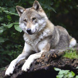 Co zrobić gdy się spotka wilka?