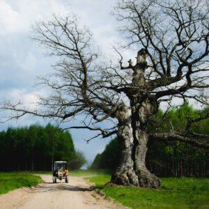 Dąb Dunin ma 400 lat. Dumnie rośnie w gminie Narew.